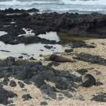 Seals sleeping at Ka'ena Point