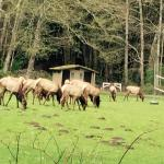 Elk grazing in the campground!