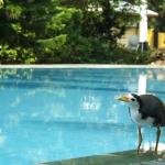Birds comming to the swimming pool