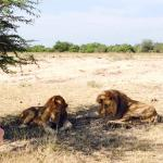 Two male lions hanging out by the runway of Malamala's airstrip.