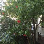 Hibiscus tree in front