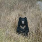 Sloth Bear in the Park