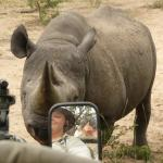 Black rhino sniffing our vehicle