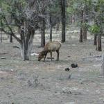 One of the many elk at the campground