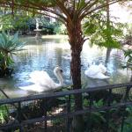 Swan lake in the gardens