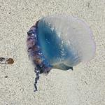 portuguese man-o-war almost every day and red flag 5/7 days
