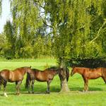 Ponies in the shade