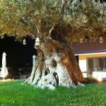 A gorgeous olive tree on the hotel grounds.