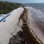Sargassum Sea Weed invasion at The Crane Beach
