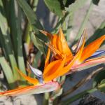 Bird of Paradise flowers in beach gardens at hotel