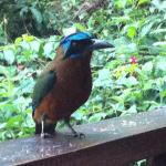 Motmot bird we fed daily