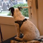Curly waiting to greet the mailman