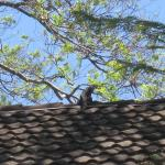 Iguana on the roof next to the pool