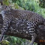Leopard on the tree at B R Hills-K Gudi Wilderness camp