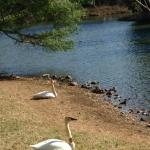 Swans by the pond