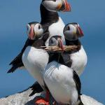 Puffins nesting on Sea Cliffs Horn Head Wild Atlantic Way Dunfanaghy ConDonegal Ireland