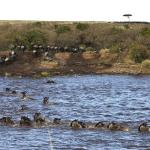 Mara Toto Camp, Kenya - The annual Great Migration river crossing