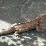 One of the iguanas