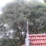The huge Curry leaves tree