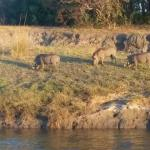 Warthogs from the sunset river cruise