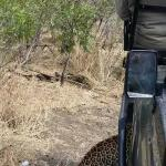 Same leopard...taking a pause under our tracker!