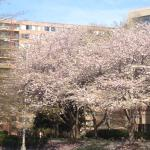 Great area to see Cherry Blossoms April 2015