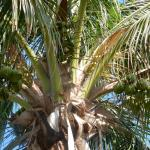 Cool seeing the coconuts in the trees...