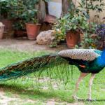 Peacocks in Garden