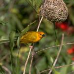 One of Many Weaver Birds That Have Built Their Nests in the Hotel Premises.
