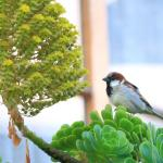 The House Sparrow on Aeonium.