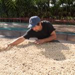 "Drying organic coffee on raised beds called ""Parihuelas"""