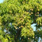 mango tree in backyard