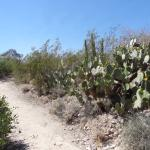 cacti along the Sonoran trail