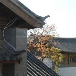Contrasting maple tree and roof tops from my room