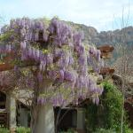 Beautiful wisteria at the entrance