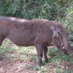 Warthog by our tent