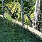 An iguana visitor at the pool!
