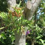 Staghorn ferns grow aside orchids on trees throughout the gardens