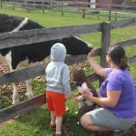 Feeding and petting a cow.