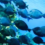 schooling blue tangs while snorkeling in front of Infinity Bay Resort