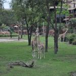View of Giraffes from Floor 2, Arusha View