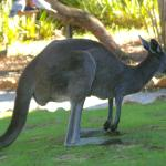 Kangaroos on our doorstep in the morning!!