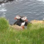 Nesting Puffins, Horn Head DunfanaghyCouny Donegal Wild Atlantic Way Ireland