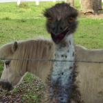 How crazy is this?  To see an ostrich and a pony hanging out together?