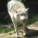 Wolf being fed as part of a presentation