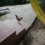 The rooster that kept us awake at night