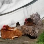 The chickens on site are also relaxed
