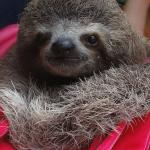Adorable Sloth at Alturas Wildlife Sanctuary