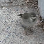 Baby wagtail in Hansa gardens