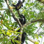 Howler monkeys in the trees right outside our room